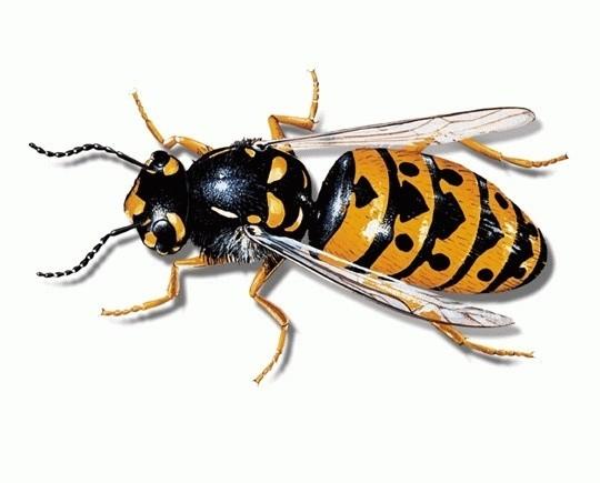 Wespenbek mpfung wespennest entfernen adonex gmbh sch dlingsbek mpfung - Wespennest in der hauswand entfernen ...
